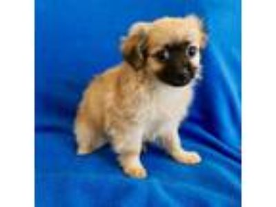 Adopt Chika a Tan/Yellow/Fawn Shih Tzu / Terrier (Unknown Type