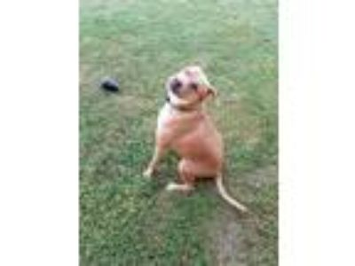Adopt Stryker a Red/Golden/Orange/Chestnut American Pit Bull Terrier / Mixed dog