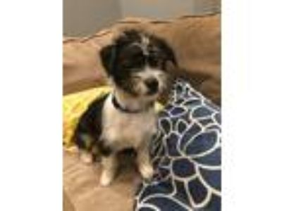Adopt Solo a Black - with White Shih Tzu / Australian Shepherd / Mixed dog in