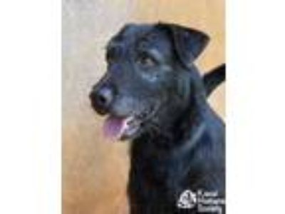 Adopt Paddy a Black Airedale Terrier / Mixed dog in Lihue, HI (25366542)