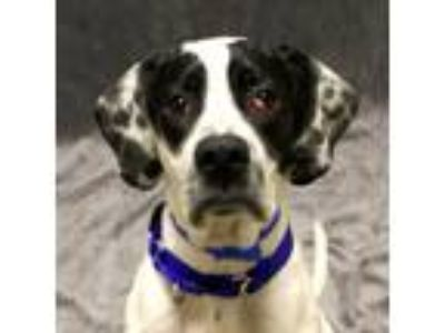 Adopt Oliver a White German Shorthaired Pointer / Spaniel (Unknown Type) / Mixed