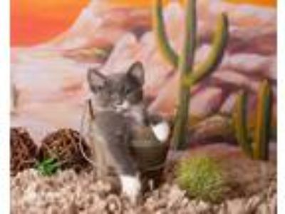 Adopt Derringer a Gray or Blue (Mostly) Domestic Shorthair / Mixed (short coat)