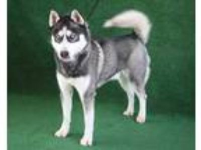 Adopt *JON a Black - with White Husky / Mixed dog in Hanford, CA (25008508)