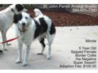 Adopt Minnie a White - with Black Border Collie / Mixed dog in Laplace