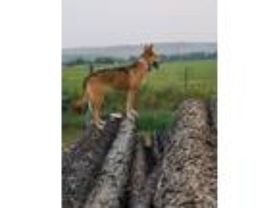 Adopt Foxy a German Shepherd Dog, Collie