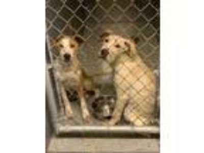 Adopt Remmy a Tan/Yellow/Fawn Labrador Retriever / Mixed dog in Lancaster