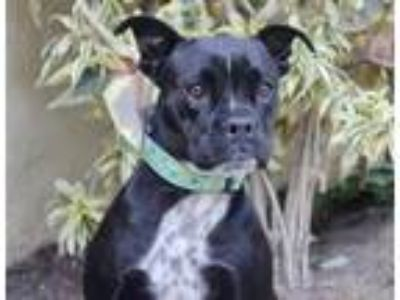 Adopt Walnut a Black - with White Boxer / Cattle Dog / Mixed dog in Los Angeles