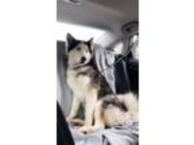 Adopt Luna a Black - with White Husky / Mixed dog in Brentwood, NY (25899641)