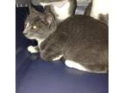 Adopt Maddy a Gray or Blue Domestic Shorthair / Domestic Shorthair / Mixed cat