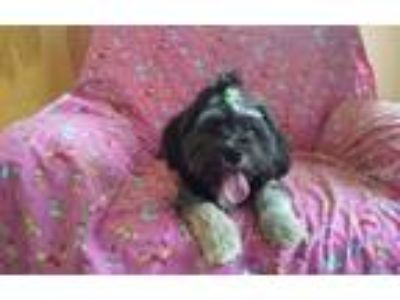 Adopt Mazie a Black - with Gray or Silver Havanese / Lhasa Apso / Mixed dog in