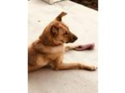 Adopt Missy a Tan/Yellow/Fawn - with Black Shepherd (Unknown Type) / Black Mouth