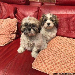 Special Shih tzu Pups