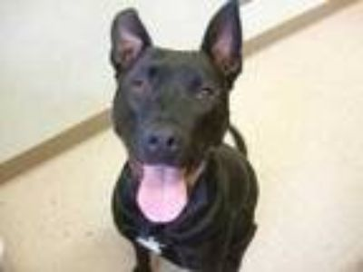 Adopt Shadow a Black American Pit Bull Terrier / Mixed dog in Winchester
