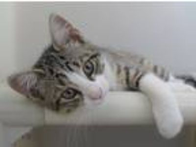 Adopt Erica a Domestic Short Hair, Tiger
