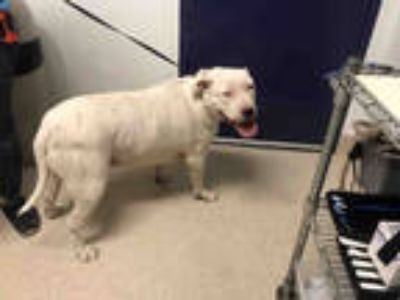 Adopt MACK a White American Pit Bull Terrier / Mixed dog in Bakersfield