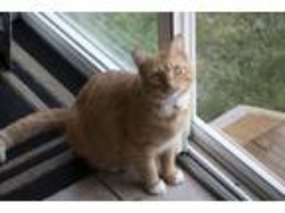 Adopt Sawyer a Orange or Red American Shorthair / Mixed cat in Morrow