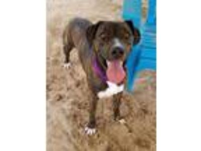 Adopt JENKINS a Brindle - with White Labrador Retriever / Mixed dog in Green