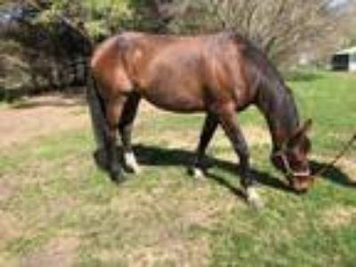 Beautiful 17 HH TB mare Breed her or jump her