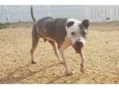 Adopt Spok a Boxer, Pit Bull Terrier