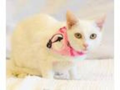 Adopt Claire a White Domestic Shorthair / Domestic Shorthair / Mixed cat in