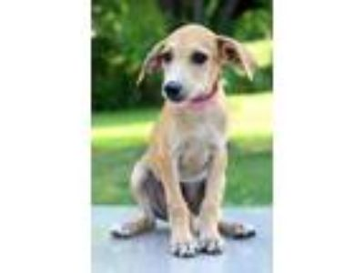 Adopt Jackie a Tan/Yellow/Fawn - with White Hound (Unknown Type) / Mixed dog in