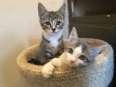 Adopt Junebug (on hold) a Brown Tabby Domestic Shorthair (short coat) cat in