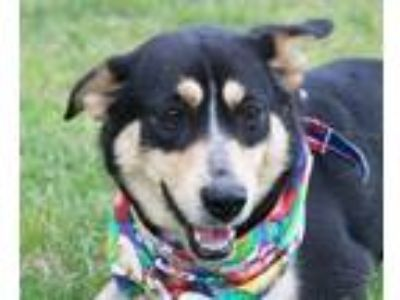 Adopt Paris a Black - with Tan, Yellow or Fawn Shepherd (Unknown Type) / Beagle