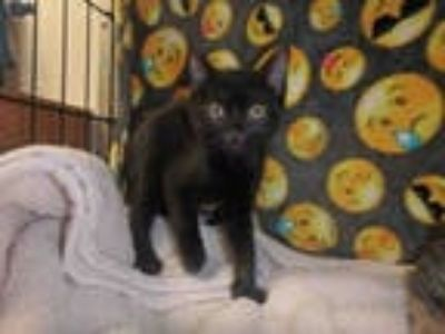 Adopt PUMBA a All Black Domestic Shorthair / Mixed (short coat) cat in Van Nuys