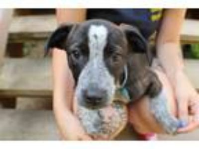 Adopt karley a Australian Cattle Dog / Blue Heeler