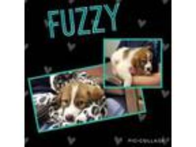 Adopt Fuzzy a Great Pyrenees
