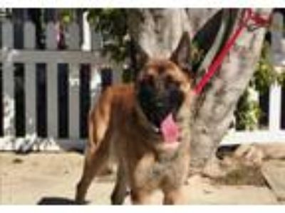 Adopt Gaucho a German Shepherd Dog