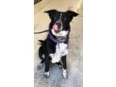 Adopt Toby a Australian Shepherd / Border Collie / Mixed dog in Logan
