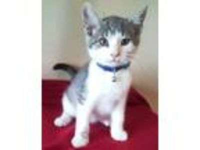 Adopt Elijah a Gray, Blue or Silver Tabby Domestic Shorthair (short coat) cat in