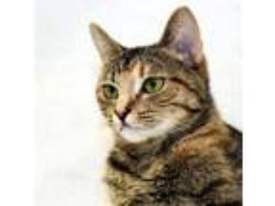 Adopt Buho a Domestic Short Hair