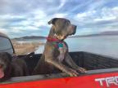 Adopt Buddy a Gray/Blue/Silver/Salt & Pepper Pit Bull Terrier / Mixed dog in Las