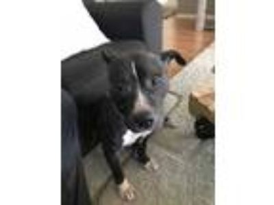 Adopt Josie a Black - with White American Pit Bull Terrier / Mixed dog in