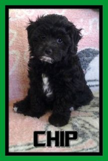 Chip Male Shihpoo