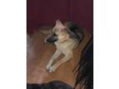 Adopt TYR a Tan/Yellow/Fawn - with Black German Shepherd Dog / Mixed dog in
