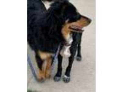Adopt Jammie a Black - with Brown, Red, Golden, Orange or Chestnut Hovawart /