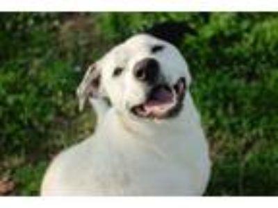Adopt Lupe a Labrador Retriever