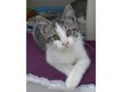 Adopt Larry a Gray or Blue (Mostly) Domestic Shorthair / Mixed (short coat) cat