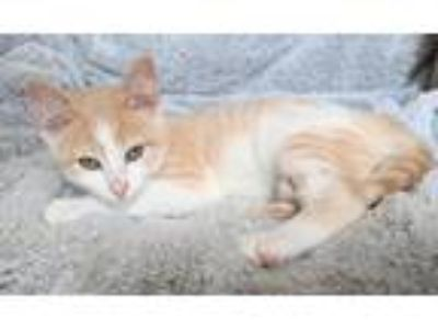 Adopt Woody a Tan or Fawn Tabby Domestic Shorthair (short coat) cat in Sioux