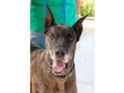 Adopt Bruno a Great Dane
