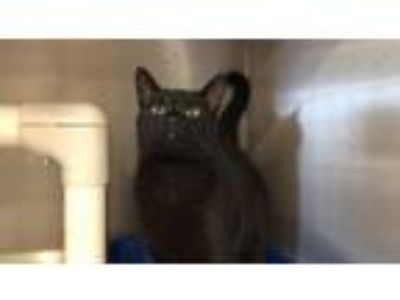 Adopt Lionell a Domestic Short Hair