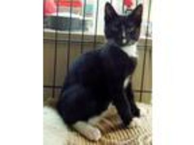 Adopt **EDDIE* a Black & White or Tuxedo Domestic Shorthair (short coat) cat in