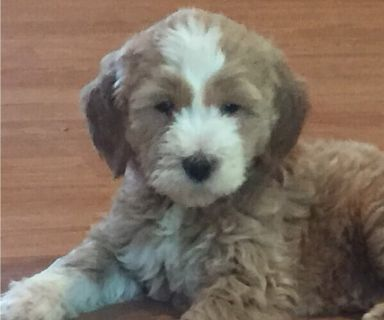 Puppy Lancaster New York Classifieds Clazorg