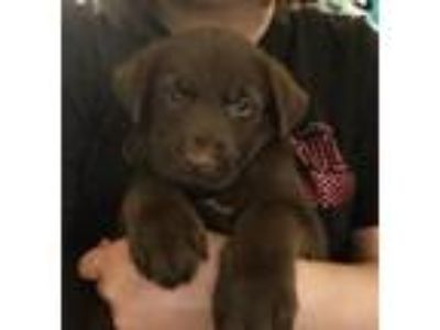 Adopt Bo Peep a Brown/Chocolate Labrador Retriever / Husky / Mixed dog in