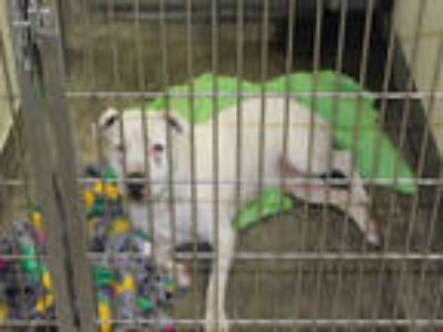 Adopt a White American Pit Bull Terrier / Mixed dog in Upland, CA (25556765)