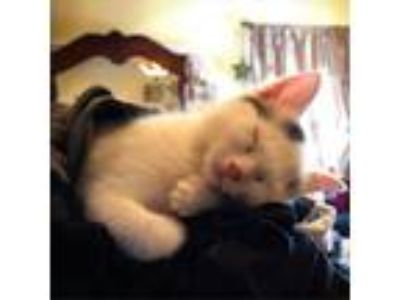 Adopt Tango a White Domestic Shorthair cat in Johnson city, TN (25571690)