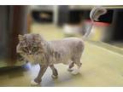 Adopt CJ a Gray or Blue Domestic Longhair / Domestic Shorthair / Mixed cat in